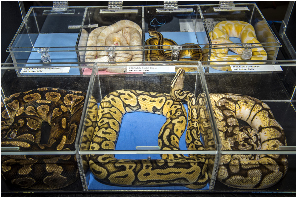 Various snakes for sale during ReptiDay at the Davis County Fairgrounds Saturday August 30, 2014.